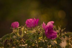 Die Rose erfreut sich immer noch sehr großer Beliebtheit im Garten