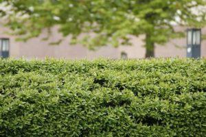 Die grüne Hecke ist auch noch in vielen Gärten zu finden.