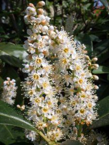 Die Kirschlorbeerblüte in Deinem Garten