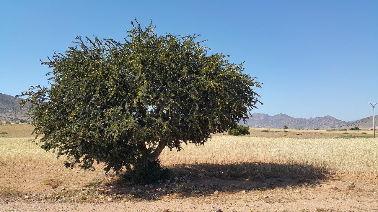 Arganbaum aus Marokko - Lieferant für das beliebte Arganöl