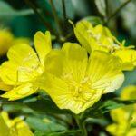 Die Nachtkerze - Vorstellung einer fast vergessenen Heilpflanze