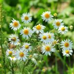 Die echte Kamille - Eine alte Arzneipflanze